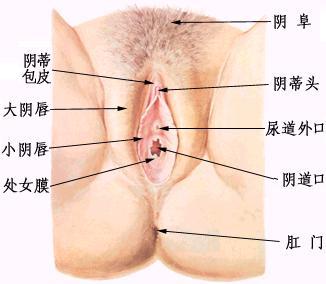 女性外生殖器结构图