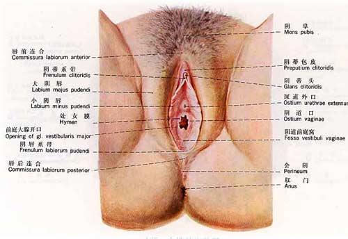女性外生殖器