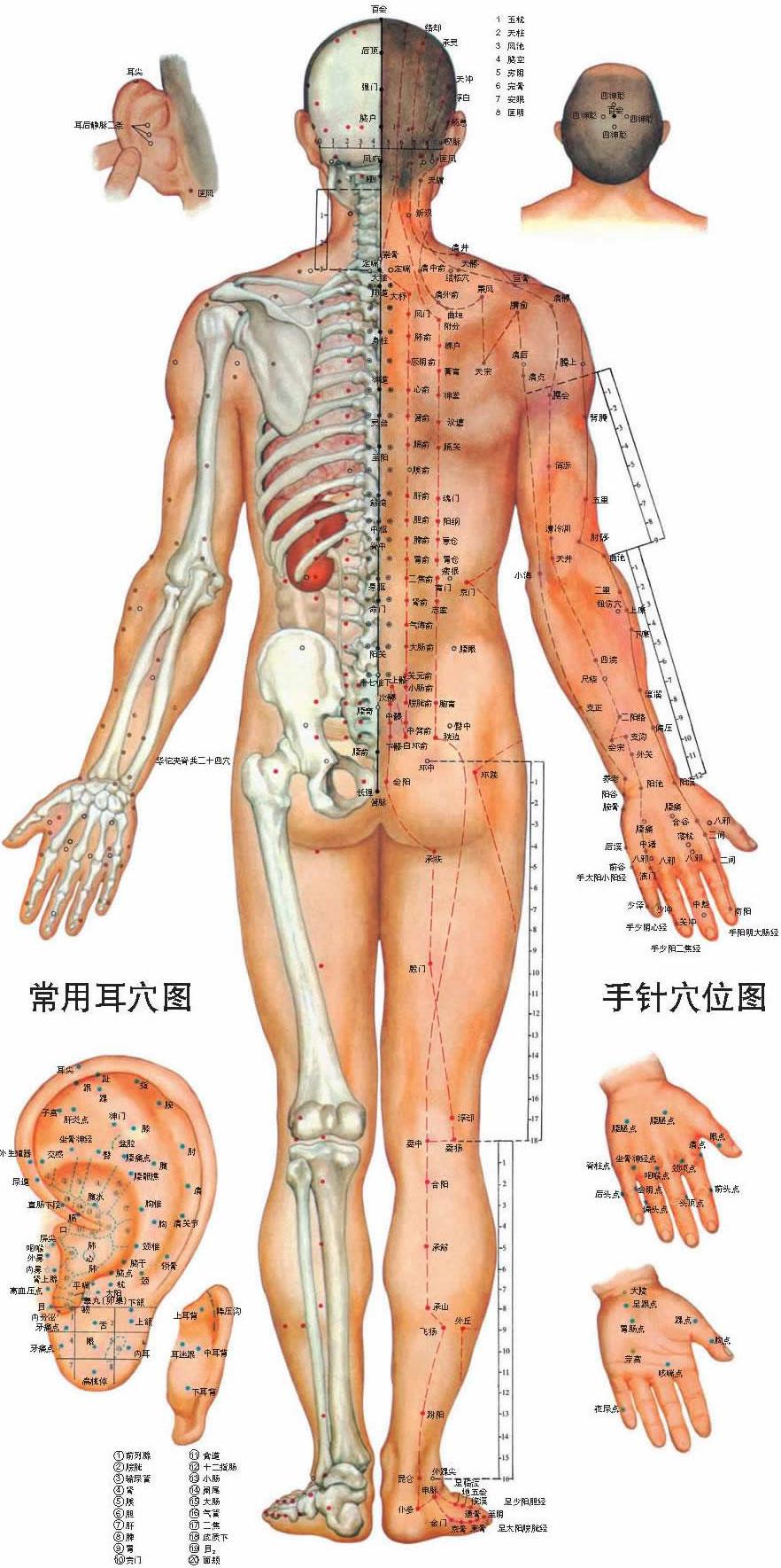 人体穴位背面图